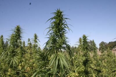 Industrial hemp gaining traction as a crop