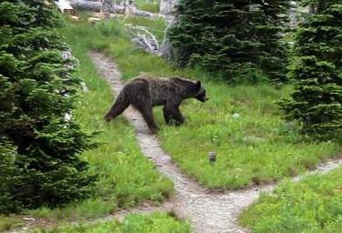 North Cascade grizzlies