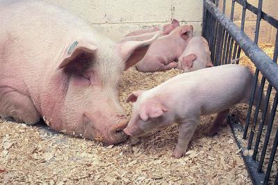 Rabobank: Swine fever changing trade outlook