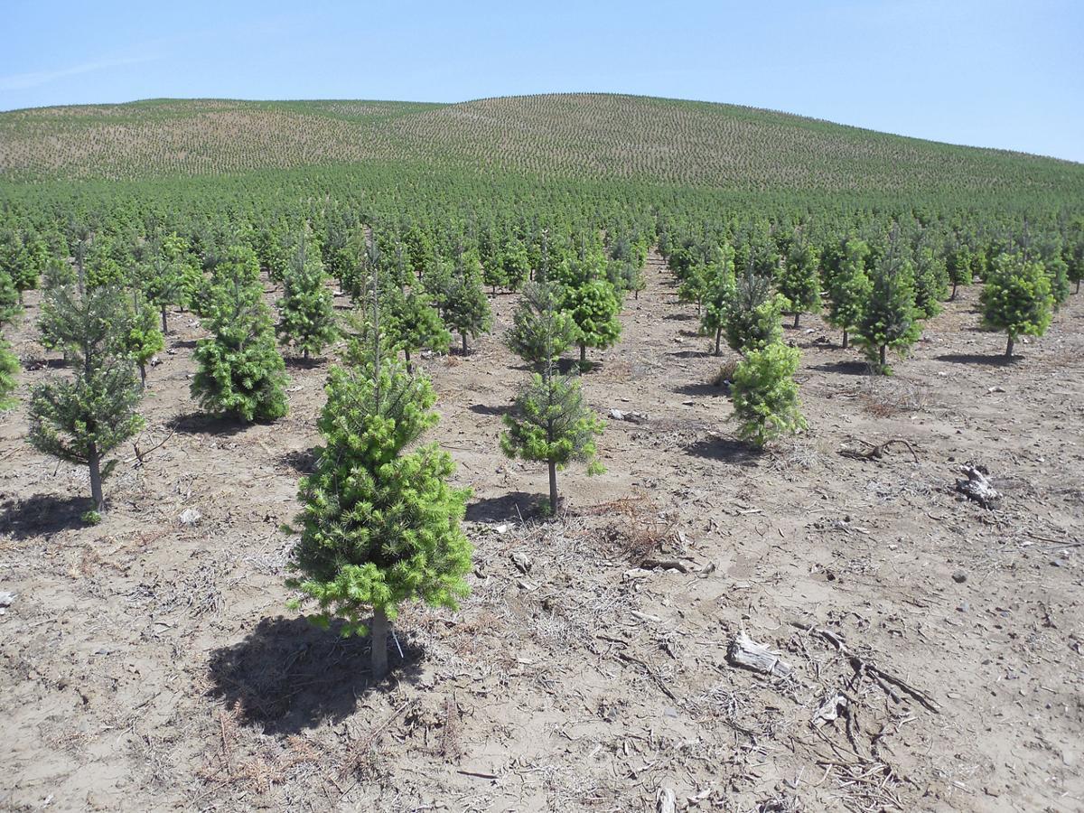 Crop diversity Christmas trees