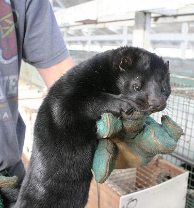 Botulism-tainted feed killed 11,000 mink, lawsuit claims