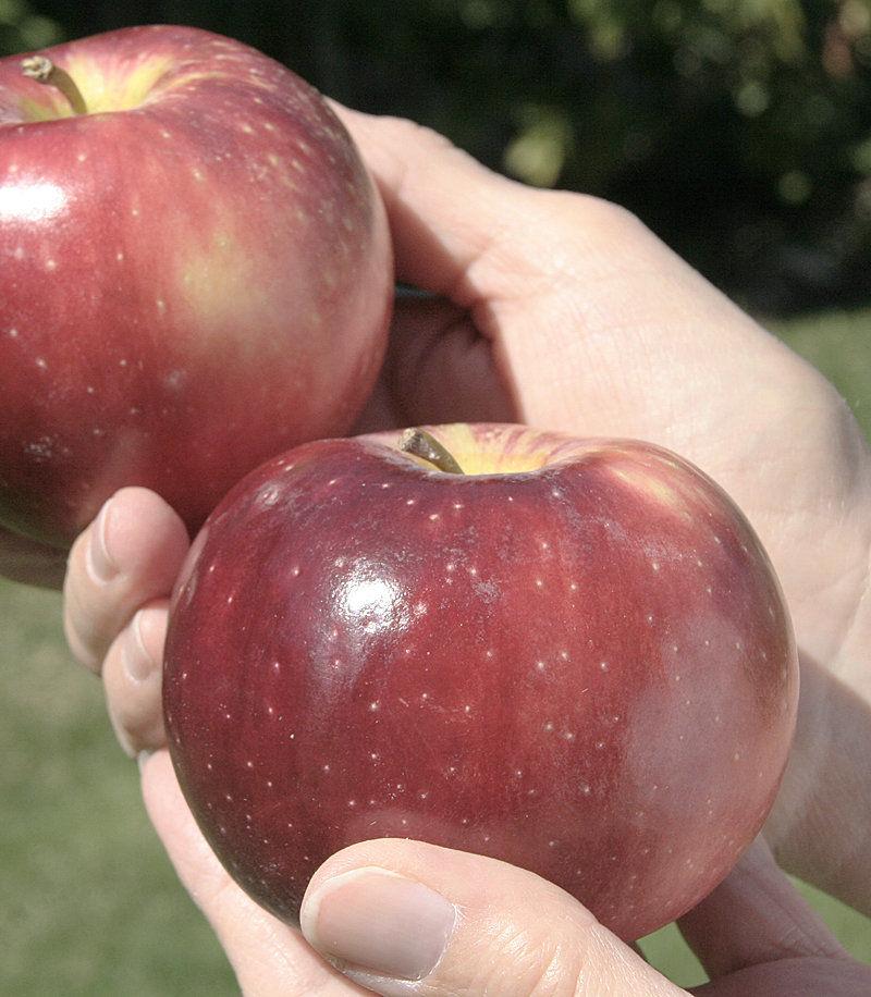 Cosmic Crisp apple tree orders skyrocket