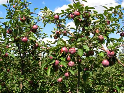 Apple growers putting some Pazazz into Wisconsin's crop