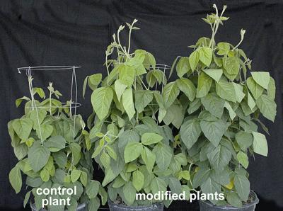 WSU researchers working to build a better soybean