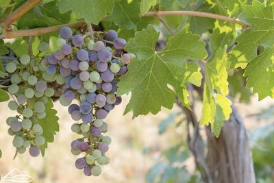 Washington wine grapes