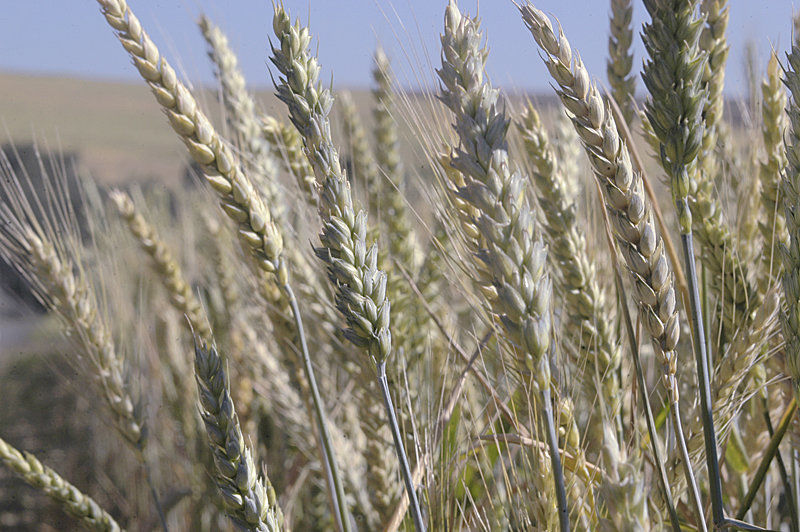 Taiwan millers renew pledge to buy wheat from Idaho, U.S.