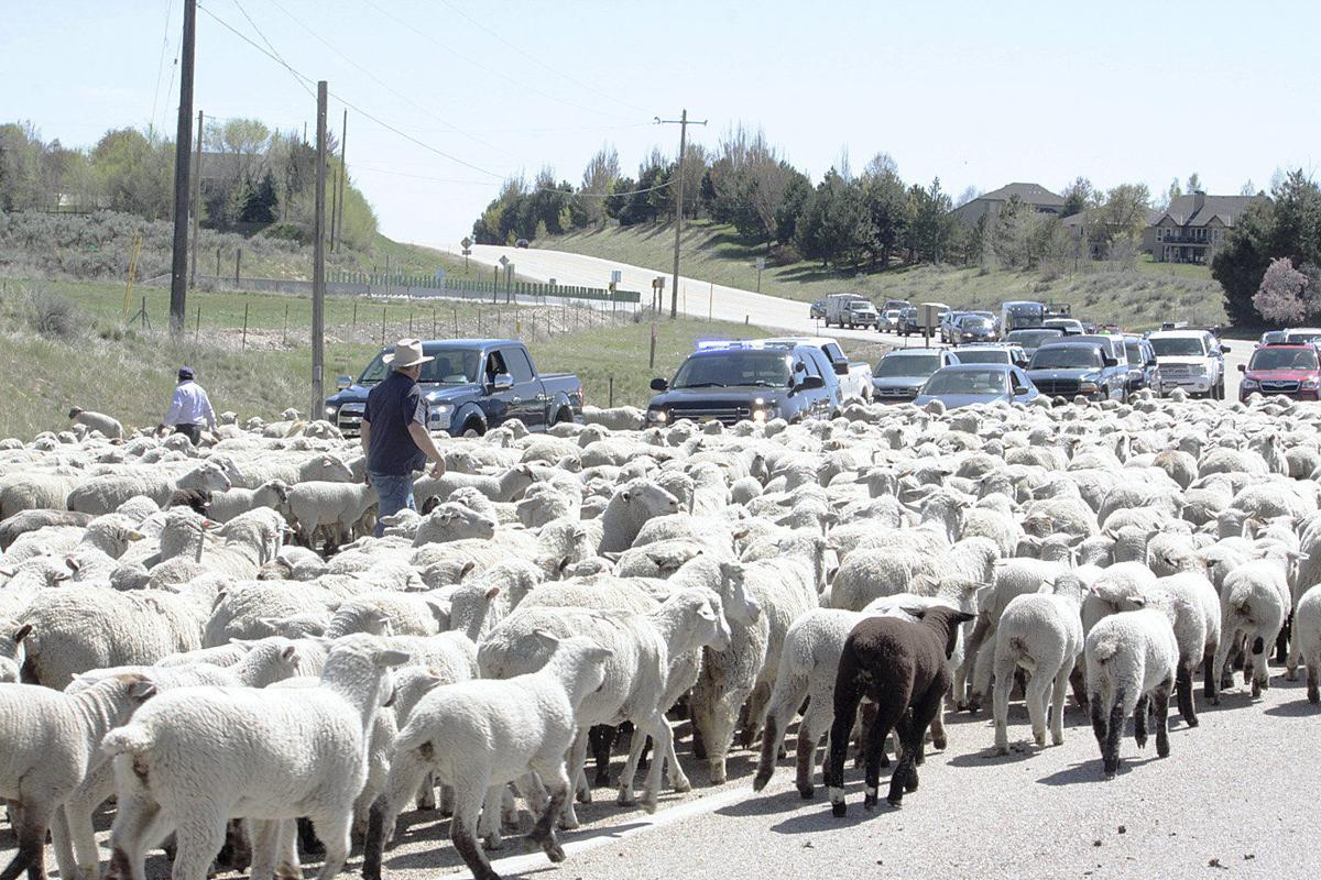 Sheep head to high country for summer grazing