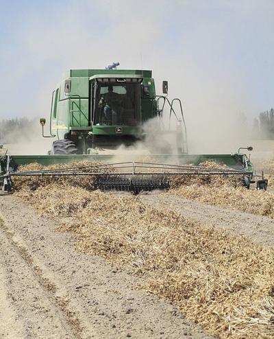 Idaho dry bean production drops 25 percent