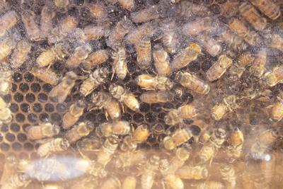 Washington beekeepers lobby for lower taxes, more forage