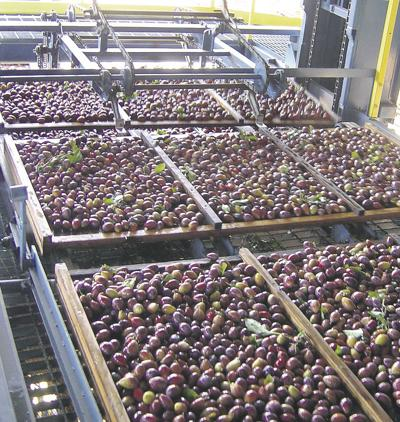 Prune crop pinched by weather