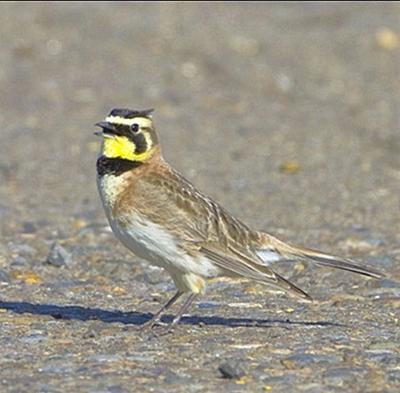 Streaked horned lark