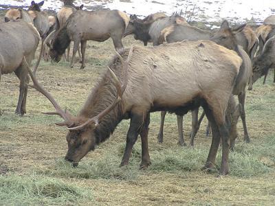 Elk herds horn in on cattle pastures