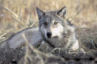 Wolves kill llama in northeastern Oregon