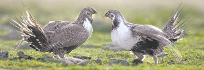 Ranchers, enviros brace for sage grouse ruling