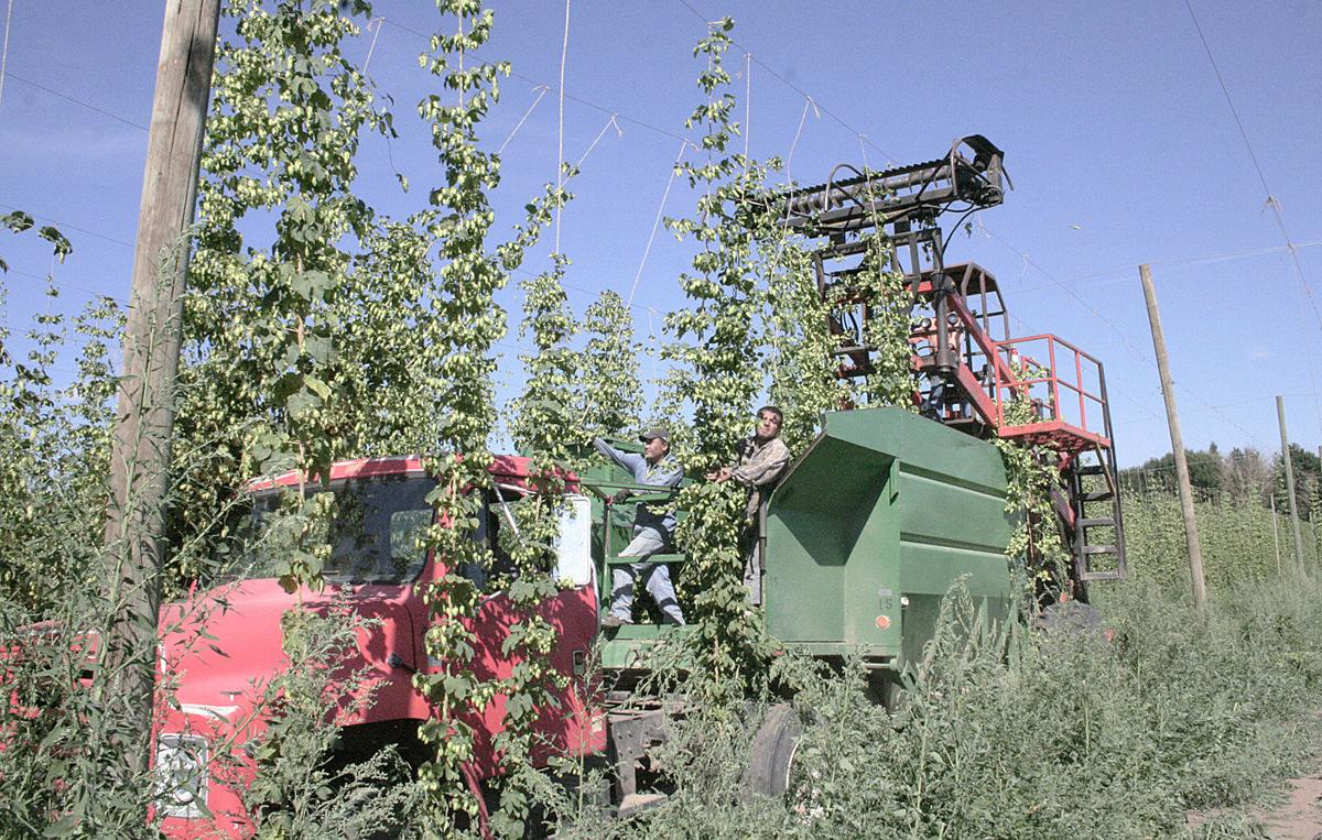 Record inventory unsettles hop industry