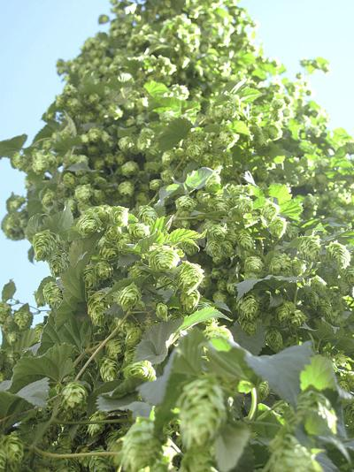 Idaho hop output to increase 51 percent