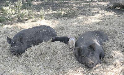 China's pig disease stresses global market