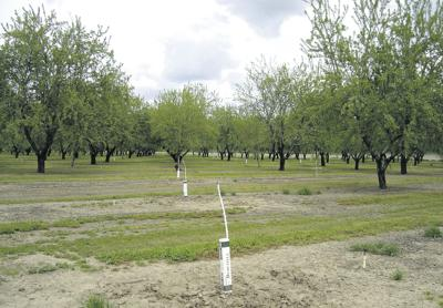 New almond tree plantings may pick up again after lull