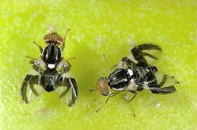 Part of Methow Valley under apple maggot quarantine