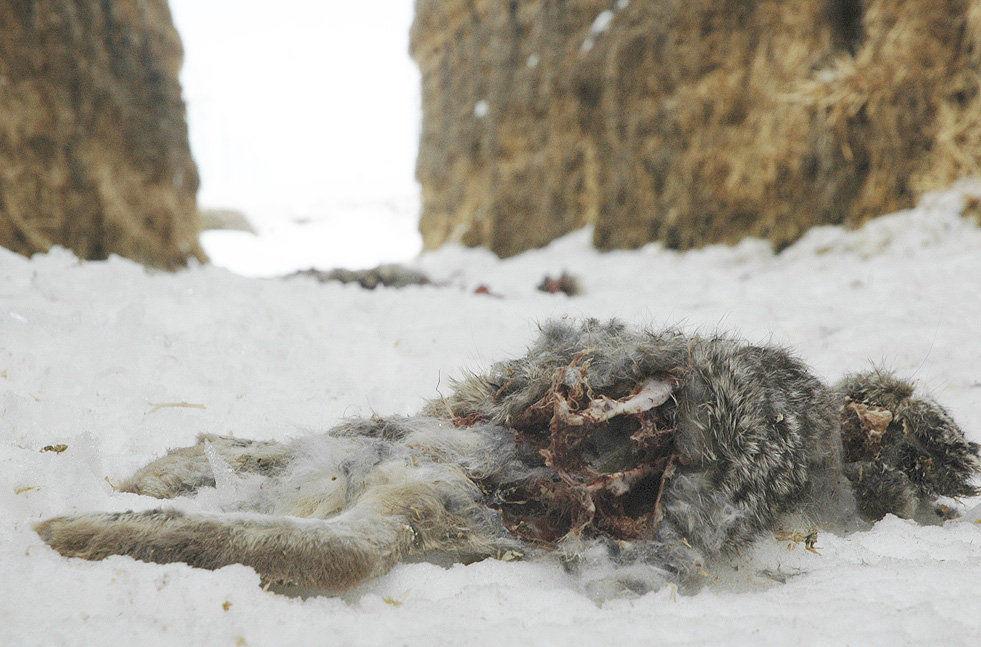 East Idaho hay farmers lose sleep over jackrabbits