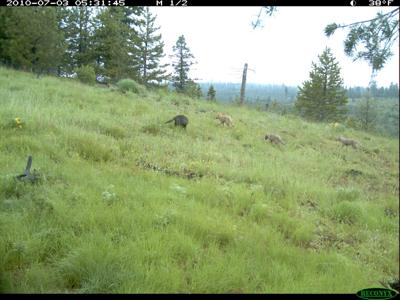 4 wolf pups spotted in Eastern Oregon