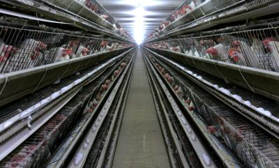 California considers making cage-free eggs a state law