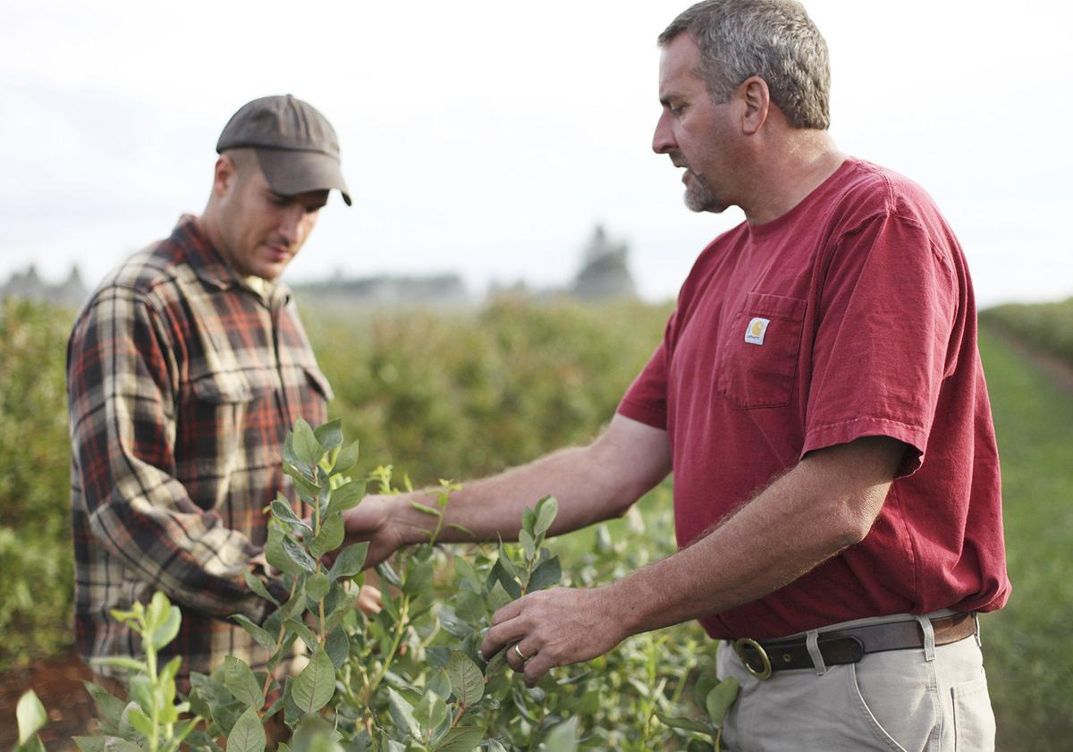 Putting berries to bed key to next year's crop