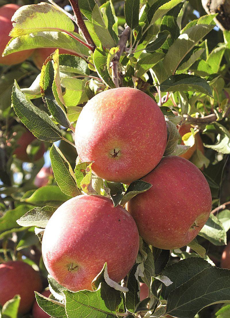 Idaho apple crop lighter than normal