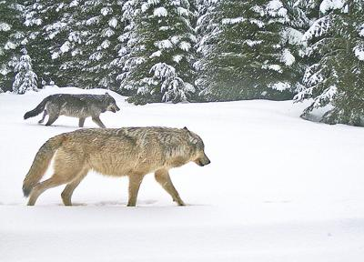 Oregon wolf population grows 36 percent in 2015