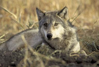 California set to deny protections for gray wolves