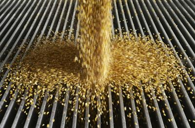 Russia bans cultivation, breeding of GMOs
