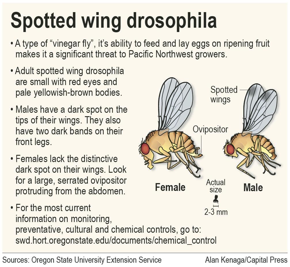 Pest watchers alert despite drosophila die-off