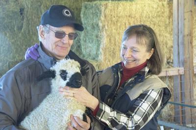 Swiss Valais Blacknose cross sheep debut