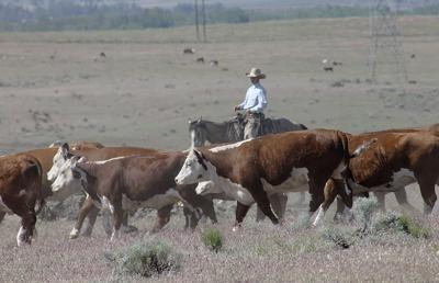 National feeder and stocker cattle report