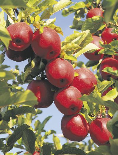 Industry hopeful for new apple