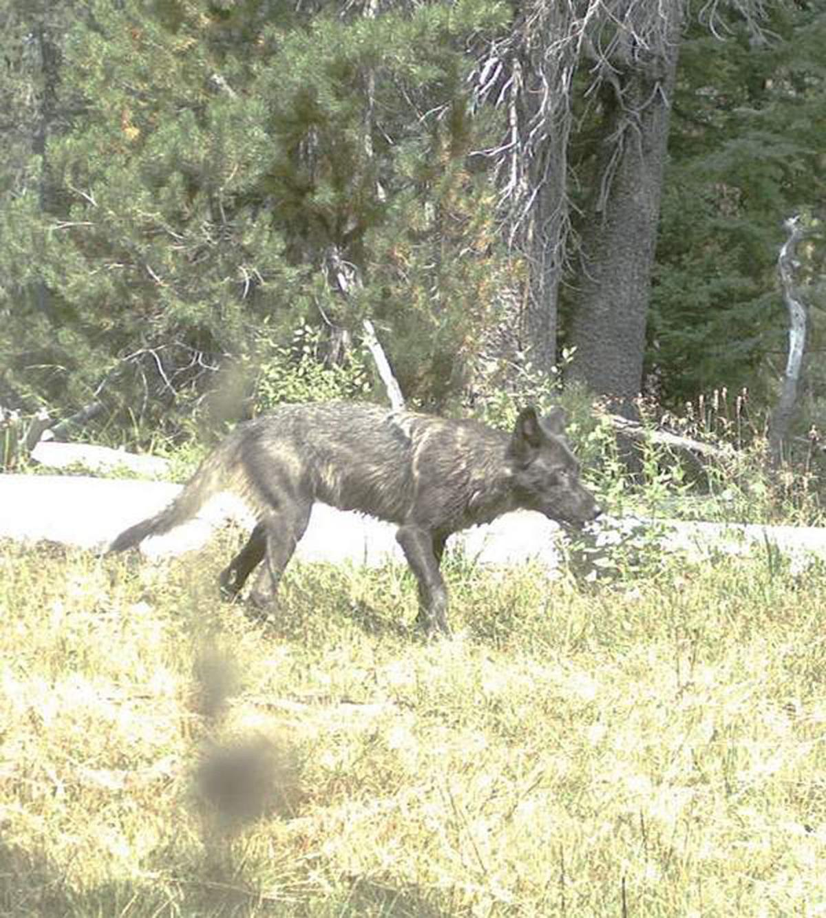 Officials, advocates promote coexistence of wolves, livestock