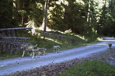 Wolf pack boasts 4 new pups in Western Oregon (copy)