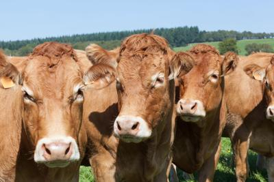 stock_cattle