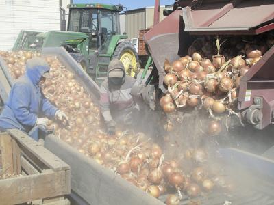 Idaho-Oregon bulb onion crop smaller, but prices are much higher