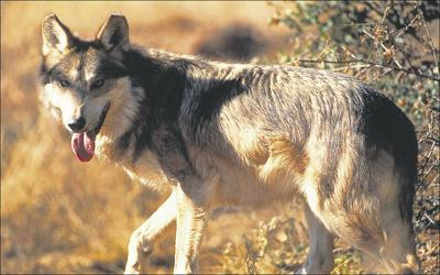 Feds fight wolf data release