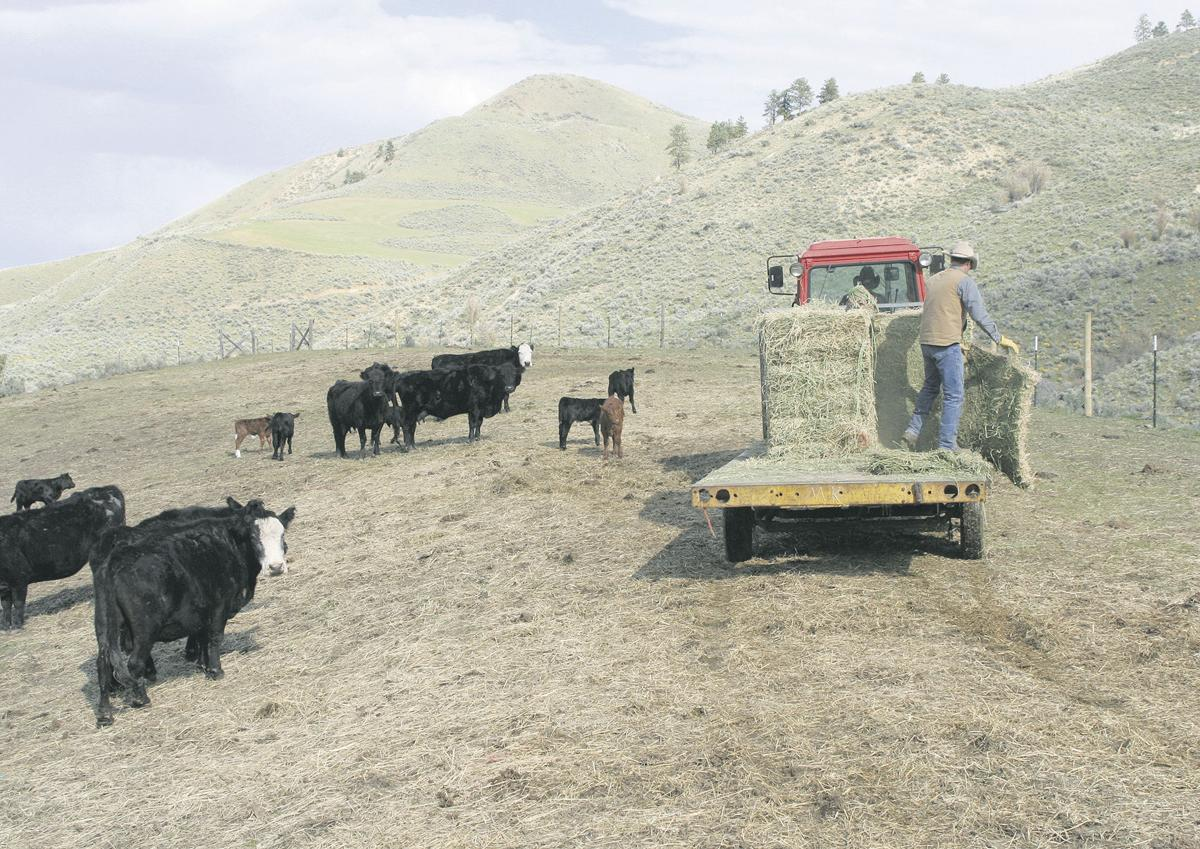 Ranchers weigh future with wolves