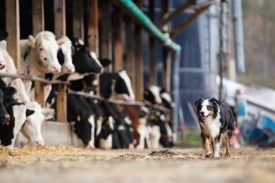 Farm Dog of the Year