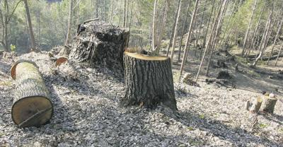 Foresters hold off sudden oak death