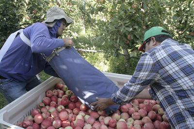 Washington apple crop