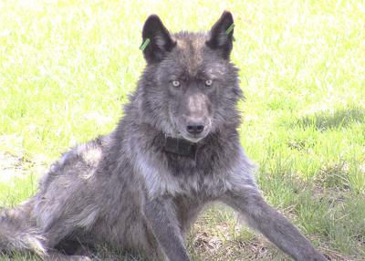 One probable, one confirmed wolf kill in Northeast Oregon