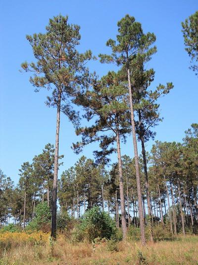 USDA cannot restrict GMO pine