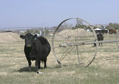 Cattle rules
