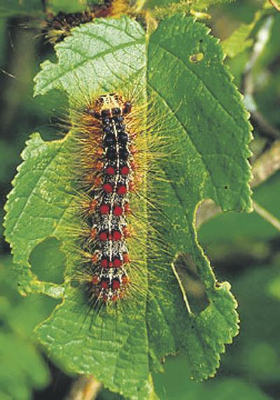 Gypsy moths quiet in Northwest this year