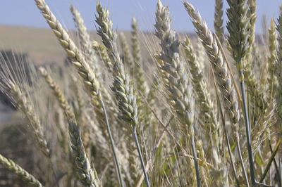 Wheat industry seeks to re-enter TPP