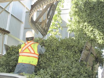 Idaho hop growers to add 1,500 acres this year